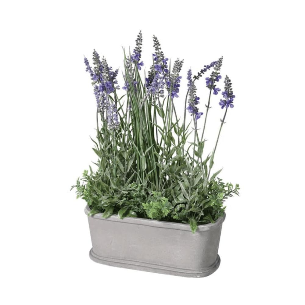 Small Lavender Plant in Pot